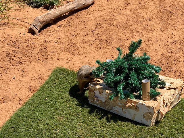 Meerkat with Christmas tree